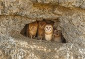 Photo by photographer Paul Bannick of barn owl family nesting in a shallow cave in a rocky hillside