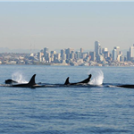 orcas near seattle