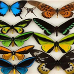 Colorful preserved butterflies.