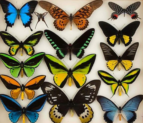 Photograph of colorful butterflies.